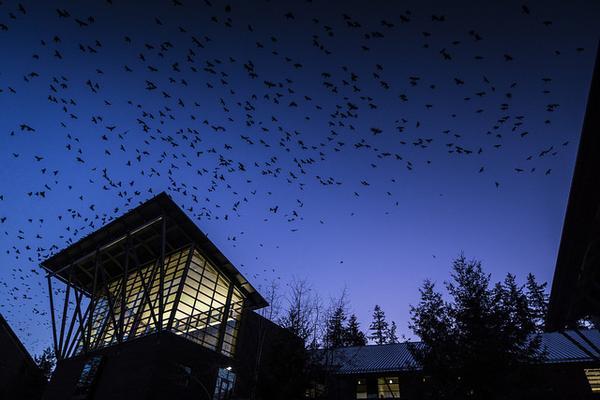Crows swirl above the University of Washington, Bothell (photo courtesy Univ Washington, Bothell)