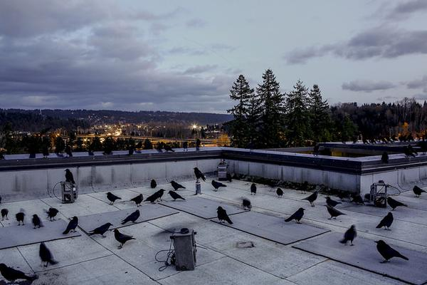 Crows on the roof of Discovery Hall near acoustic equipment (photo courtesy Univ Washington, Bothell)