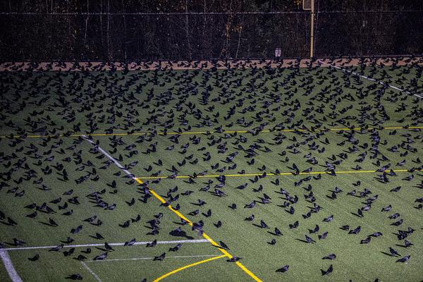 Crows on the practice field at dusk, Univ of Washington, Bothell (photo courtesy Univ Washington, Bothell)