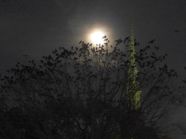 Crows roosting in the trees near Heinz Chapel, 1 Dec 2017 (photo by Kate St. John)