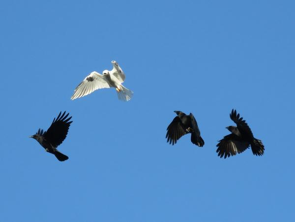 Crows harrass a white-tailed kite (photo by stonebird via Flickr, Creative Commons license)