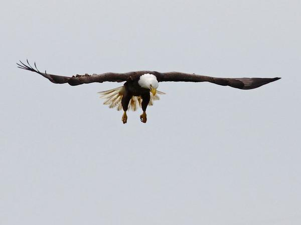 Bald eagle hunting (photo by Chuck Tague)