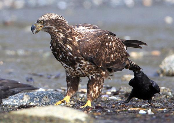 Crow pulls the tail of an immature bald eagle, Delta, BC, Canada (photo from Wikimedia Commons)