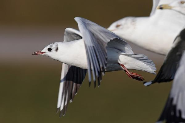 Black-headed gull, Moraine State Park, 3 Dec 2017 (photo by Geoff Malosh)
