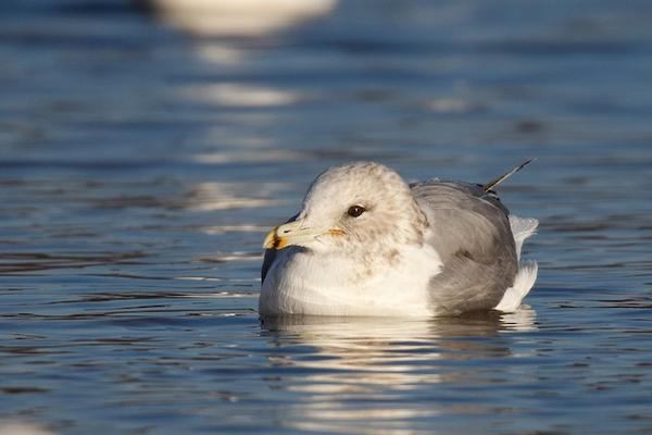 California gull, Moraine State Park, 3 December 2017 (photo by Geoff Malosh)
