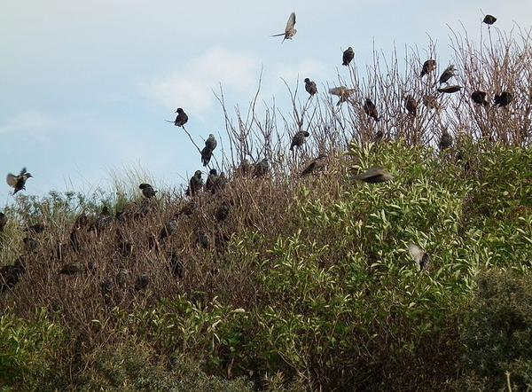 Flock of common starlings in a thick bush, Germany (photo from Wikimedia Commons)