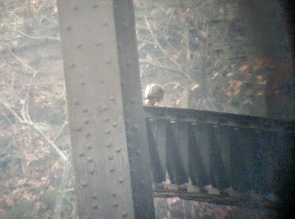 The back of a peregrine, plucking and eating prey on the Monaca-Beaver railroad bridge over the Ohio River (photo by Kate St. John)