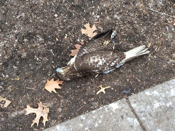 Injured immature red-tailed hawk near Heinz Chapel, 22 Dec 2017 (photo by Jason Bratkovich)