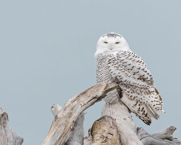 Snowy Owl, Headlands Beach, Ohio, 2 Dec 2017 (photo by Anthony Bruno)