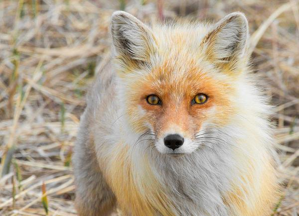 "Red Fox, Nome, Alaska (photo by Gregory ""Slobirdr"" Smith via Wikimedia Commons)"