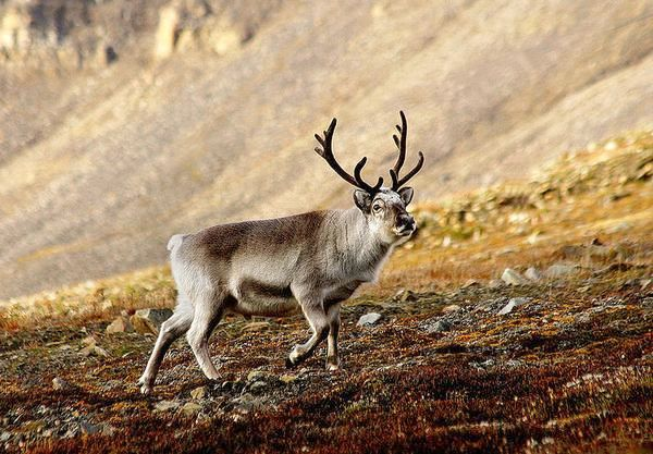 Reindeer in Svalbard (photo by Per Harald Olsen via Wikimedia Commons)