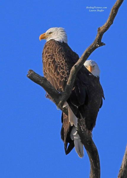 Bald eagle pair, Montour Preserve, 18 Jan 2018 (photo by Lauri Shaffer)