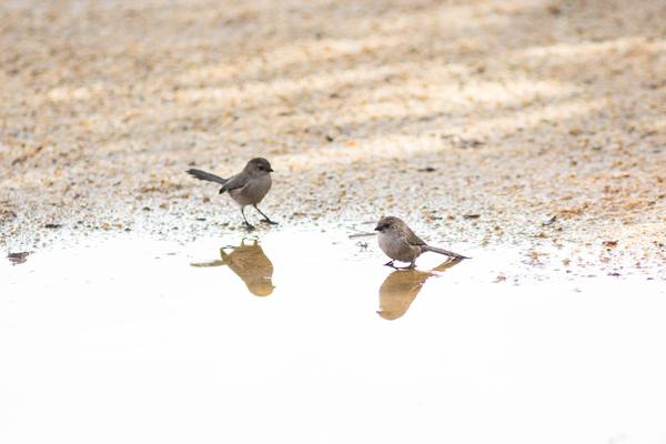 Bushtits near a puddle (photo by Melissa McMasters via Wikimedia Commons)
