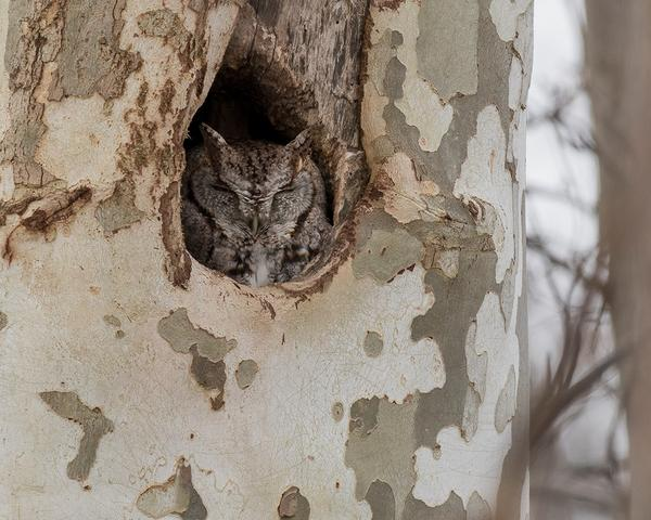 Eastern screech-owl in Pennsylvania, Dec 2017 (photo by Anthony Bruno)