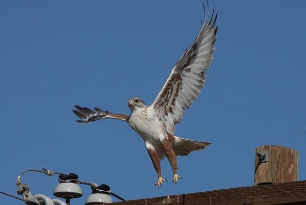 Ferruginous Hawk, Arizona, 7 Feb 2009 (photo by Dominic Sherony via Wikimedia Commons)