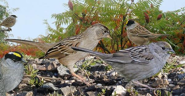 Golden-crowned sparrow from Crossley ID Guide via Wikimedia Commons