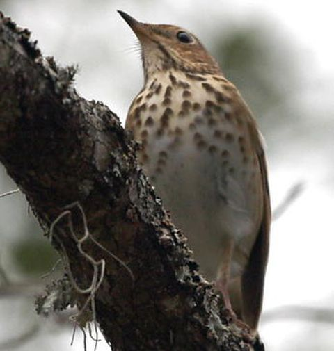 Hermit thrush (photo by Chuck Tague)