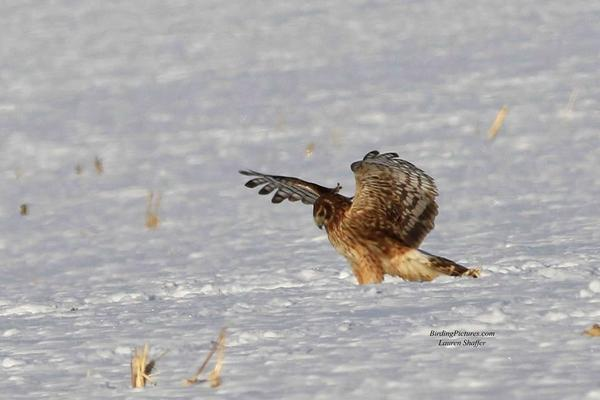 Northern harrier, pouning in snow (photo by Lauri Shaffer)