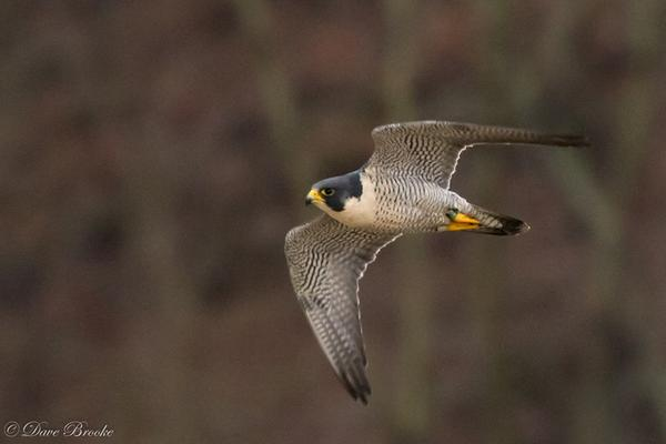 Peregrine (black/green 48/BR) at Tarentum Bridge, 12 Jan 2018 (photo by Dave Brooke)