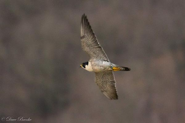Peregrine at Tarentum Bridge, 12 Jan 2018 (photo by Dave Brooke)