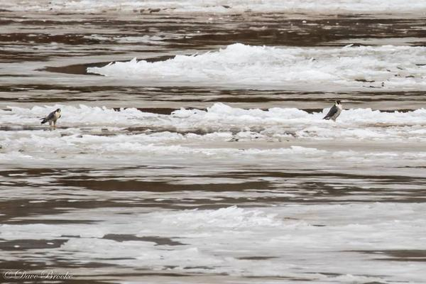 Peregrines standing on ice floes in the Allegheny River, 12 Jan 2018 (photo by Dave Brooke)