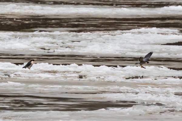 Pair of peregrines on ice floes in the Allegheny River, 12 Jan 2018 (photo by Dave Brooke)