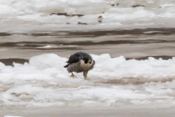 The peregrine that remained on the ice, 12 Jan 2018 (photo by Dave Brooke)