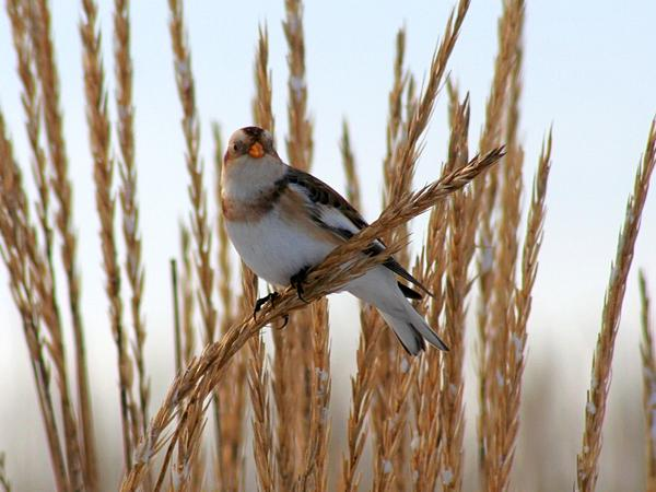 Snow Bunting in winter plumage (photo from Wikimedia Commons)