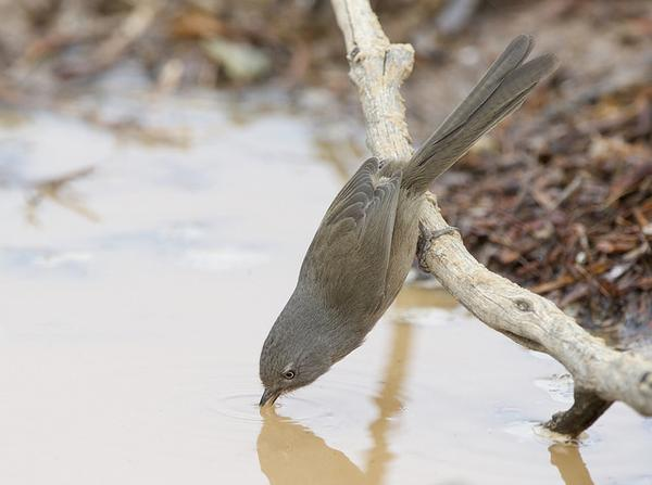 "Wrentit leaning for a drink (photo by Gregory ""Slobirdr"" Smith via Flickr, Creative Common license)"