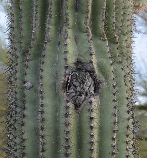 Western screech-owl roosting in saguaro (photo by Donna Memon)