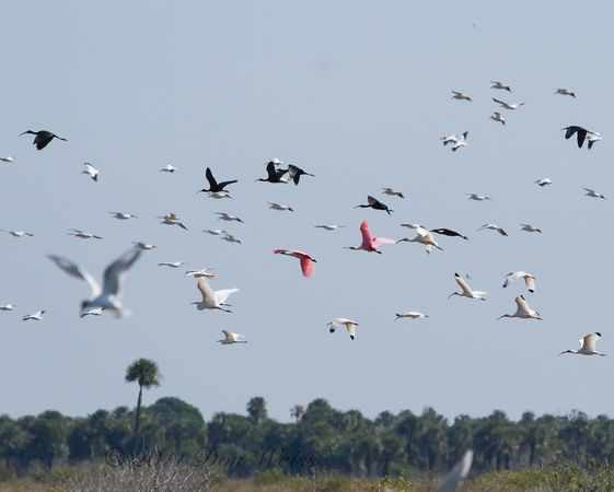 Waterbirds in flight, Florida 2013 (photo by Don Weiss)