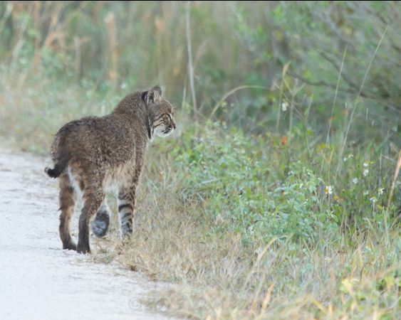 Bobcat in Florida, 2013 (photo by Don Weiss)