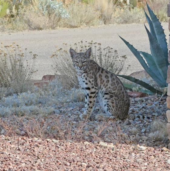 Bobcat in the backyard, Tucson AZ, 8 Jan 2018 (photo by Donna Memon)