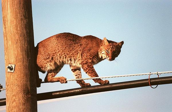 Bobcat on wires at Merritt Island, Florida (photo from NASA via Wikimedia Commons)