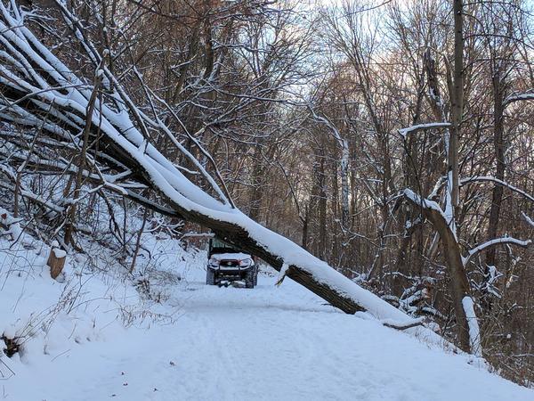 Red oak fell over in Schenley Park as seen on 17 January 2018 (photo by Kate St. John)