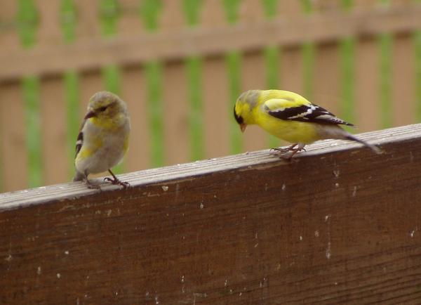 Goldfinches turning yellow for spring (photo by Marcy Cunkelman)