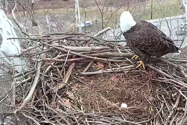 Harmar bald eagle with first egg, 25 Feb 2018. Steve Gosser is visible in the parking lot below (photo from the ASWP Harmar bald eaglecam)