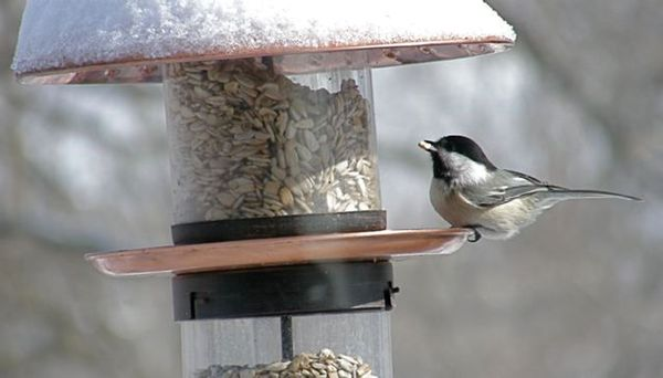 Black-capped chickadee at the feeder (photo by Marcy Cunkelman)