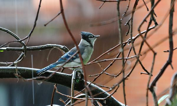 Blue jay in the rain (photo by Christian Lanctot via Flickr, Creative Commons license)