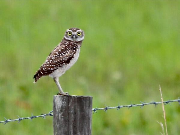 Burrowing owl in Florida (photo by Chuck Tague)