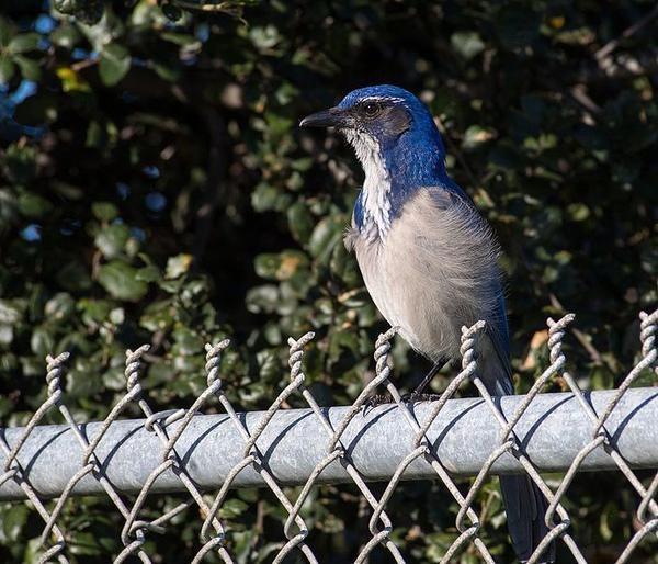 California scrub jay (photo from Wikimedia Commons)