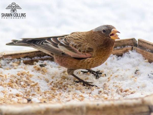 Gray-crowned rosy-finch, Crawford County, PA, 3 Feb 2018 (photo by Shawn Collins)