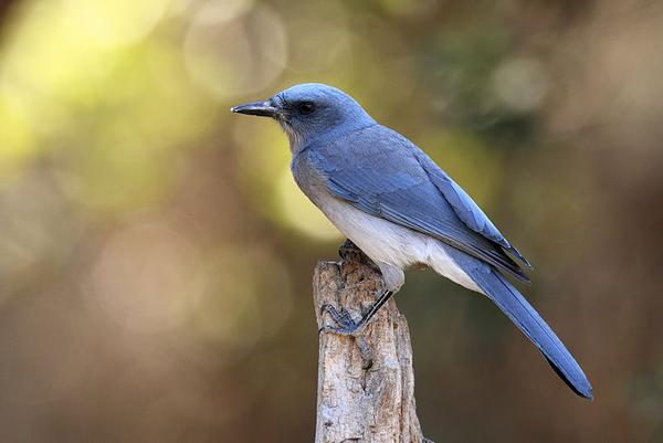 Mexican jay in Madera Canyon, Arizona (photo by Alan Vernon via Wikimedia Commons)