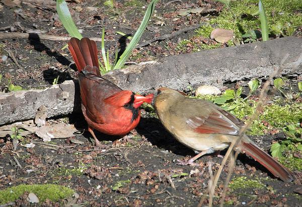 "Northern cardinal courtship, ""The Kiss"" (photo by Gene Wilburn via Flickr, Creative Commons license)"