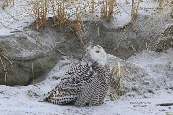 Snowy owl, Plum Island, MA, early Feb 2018 (photo by Lauri Shaffer)
