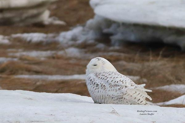 Snowy owl near Boston, MA, Feb 2018 (photo by Lauri Shaffer)