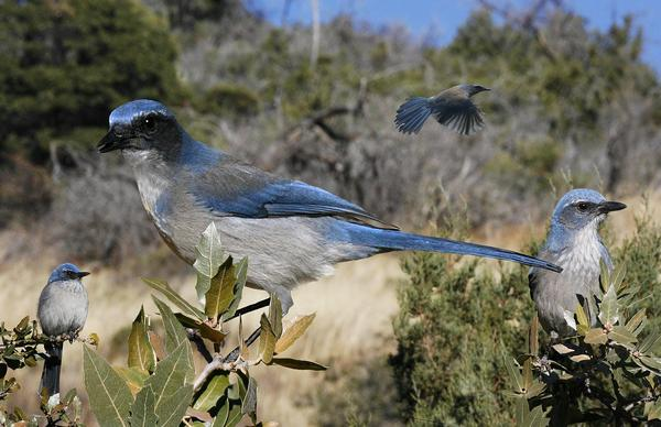 Woodhouse's Scrub Jay (from the Crossley ID Guide via Wikimedia Commons)