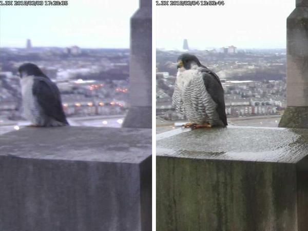 Comparing on the pillar perch: Louie and Dori (photos from the National Aviary falconcam at Gulf Tower, Downtown Pittsburgh)