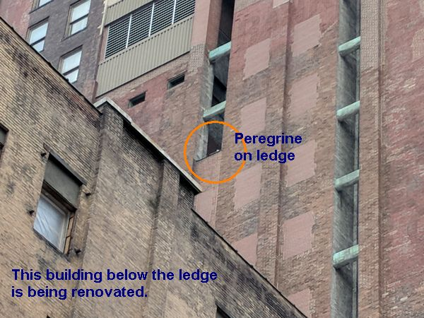 Peregrine on Third Ave nest ledge, 10 Feb 2018 (photo by Kate St. John)