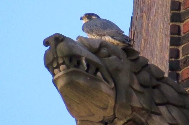 Peregrine on Lawrence Hall gargoyle (photo by Lori Maggio)
